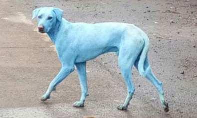 Perro-azul-india-